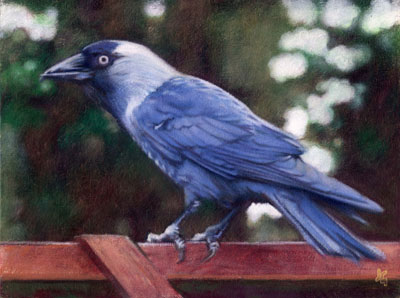 Jackdaw, oil on board, 18x24cm