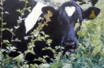 jane-german-portrait-of-cow-over-hedge-oil-on-canvas-60x40cm
